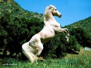 Un cheval blanc debout