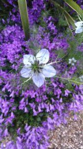 Nigelle, fleur